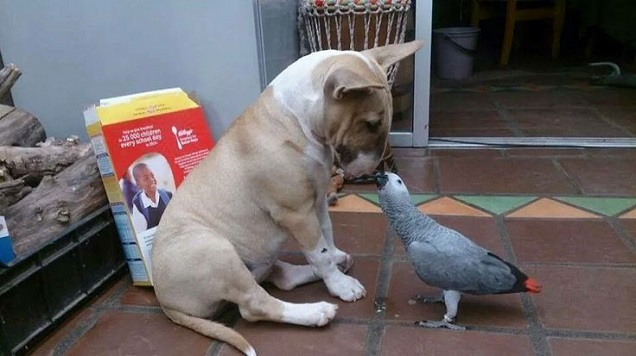 bull terrier bird friends