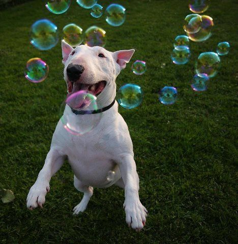 bull terrier english bubbles