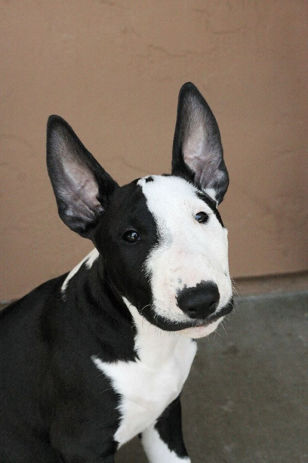 bull terrier eyes photo