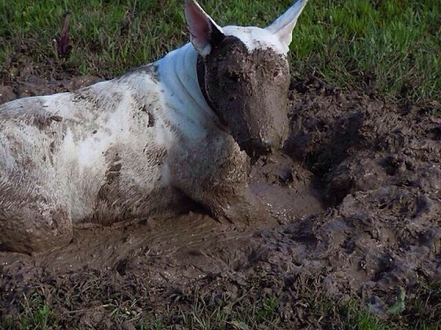 bull terrier mud photo