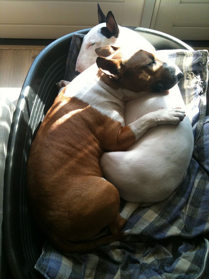 bull terriers cuddle
