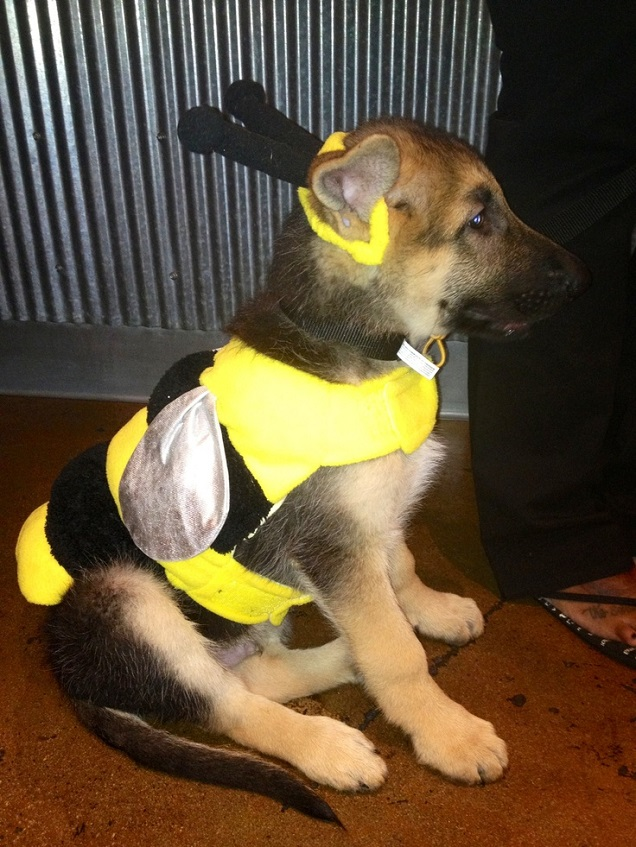 german shepherd spider costume 19 costumes that prove german shepherds always win at 646