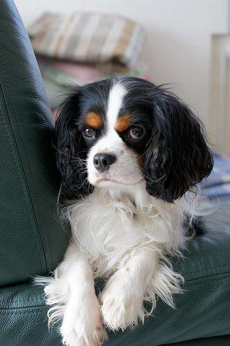 charles spaniel dog eyes think
