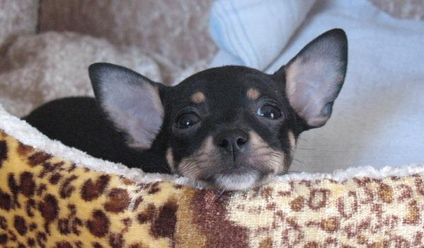 chihuahua cute dog
