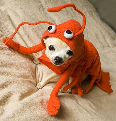 chihuahua halloween outfit lobster
