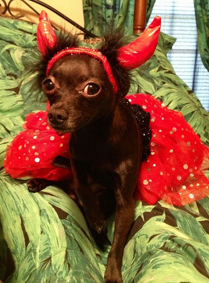 chihuahua halloween red outfit