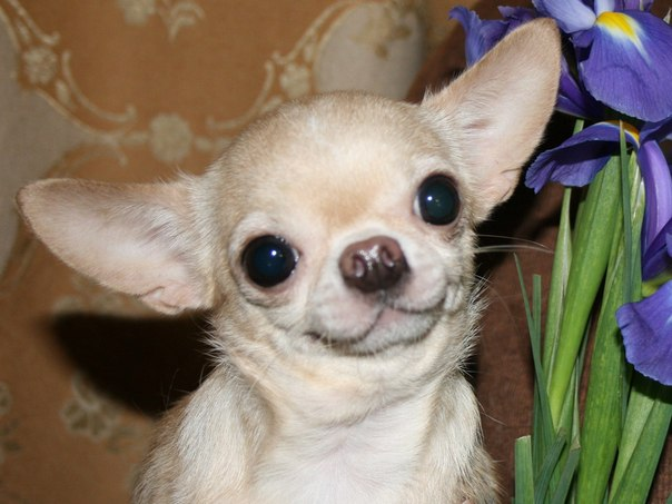 14 Reasons Chihuahuas Are The Worst Indoor Dog Breeds Of