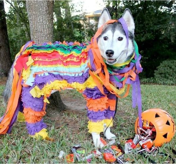 color costume husky pics halloween