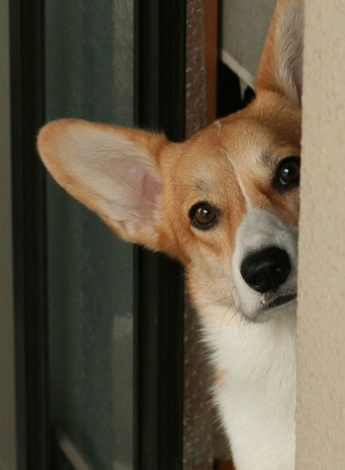 corgi eyes photo funny dog