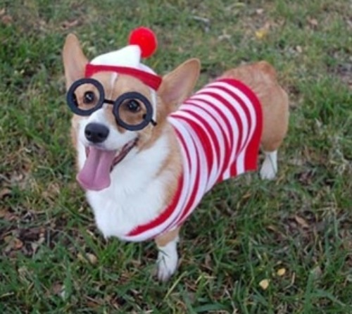 corgi outfit glasses