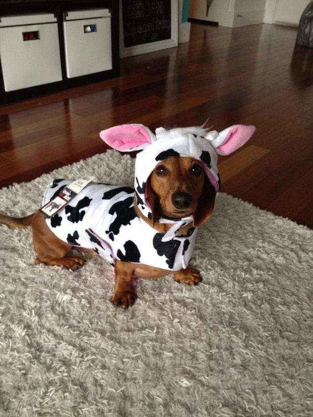 cow doxie