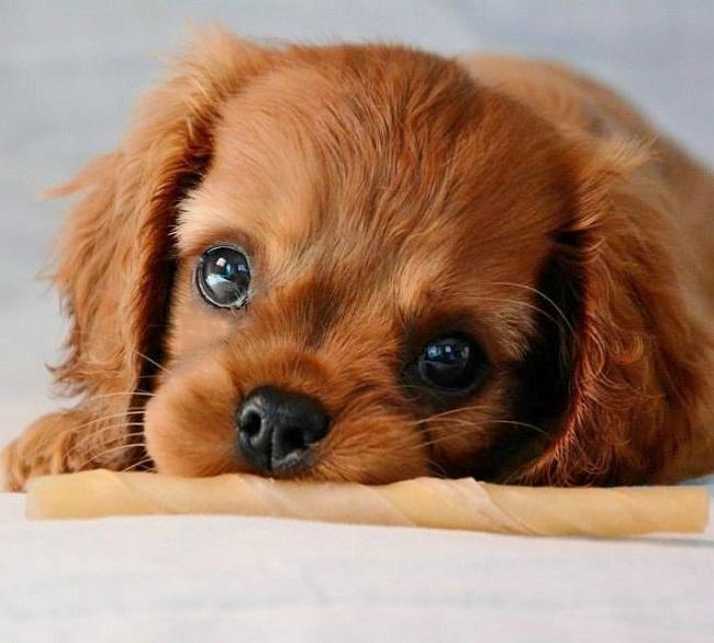 cute charles spaniel eyes puppy