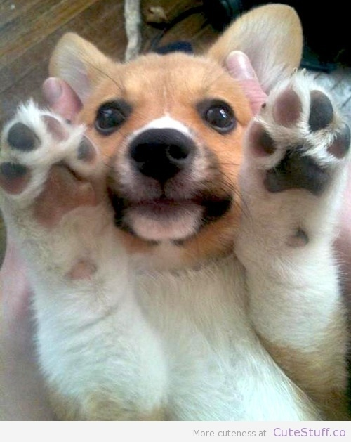 cute corgi paws