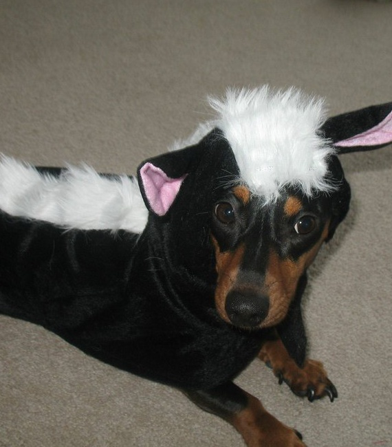 cute costume for doxie