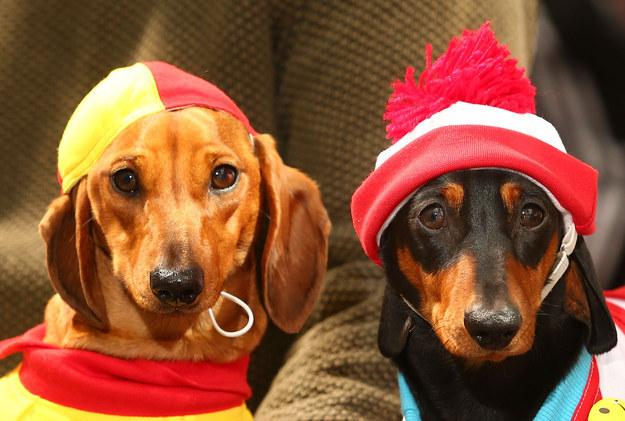 cute dachshunds costumes