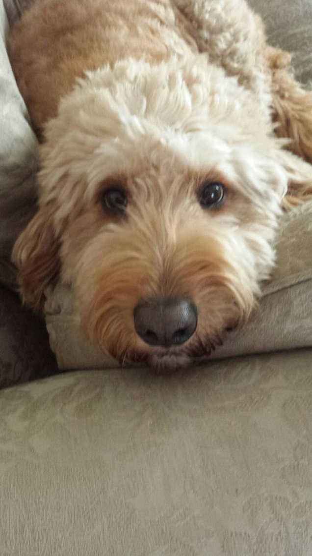 cute face goldendoodle eyes