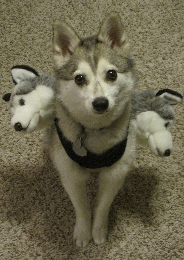 cute husky costume