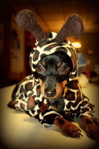 dachshund giraffe costume & 19 Costumes That Prove Dachshunds Always Win At Halloween