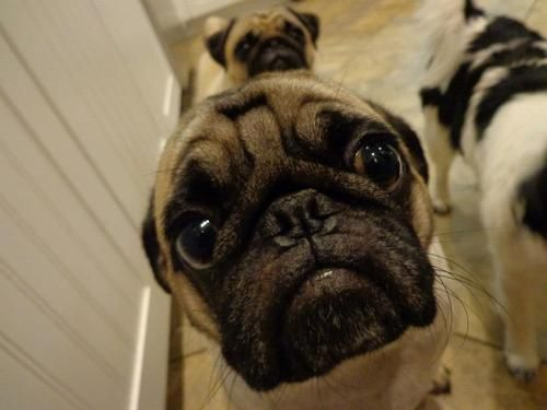 face closeup pug eyes begging