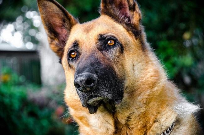 Cute Dog German Shepherd Puppy