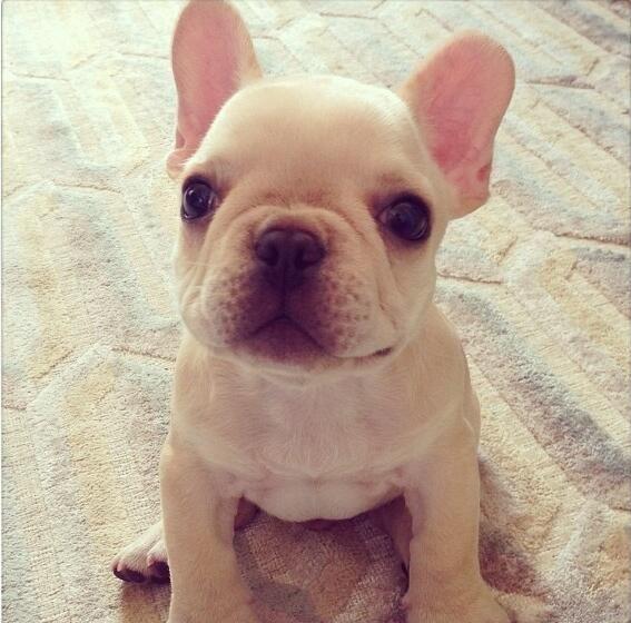 french bulldog eyes