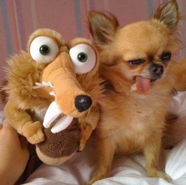 funny angry chihuahua