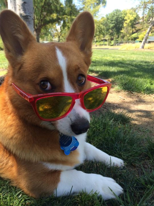 funny glasses corgi dog