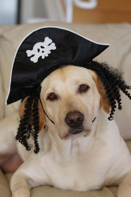 funny lab pirate halloween
