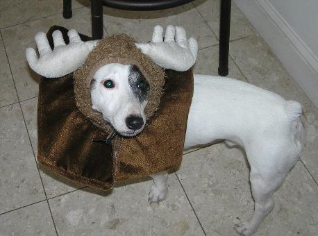 funny outfit jack russell halloween