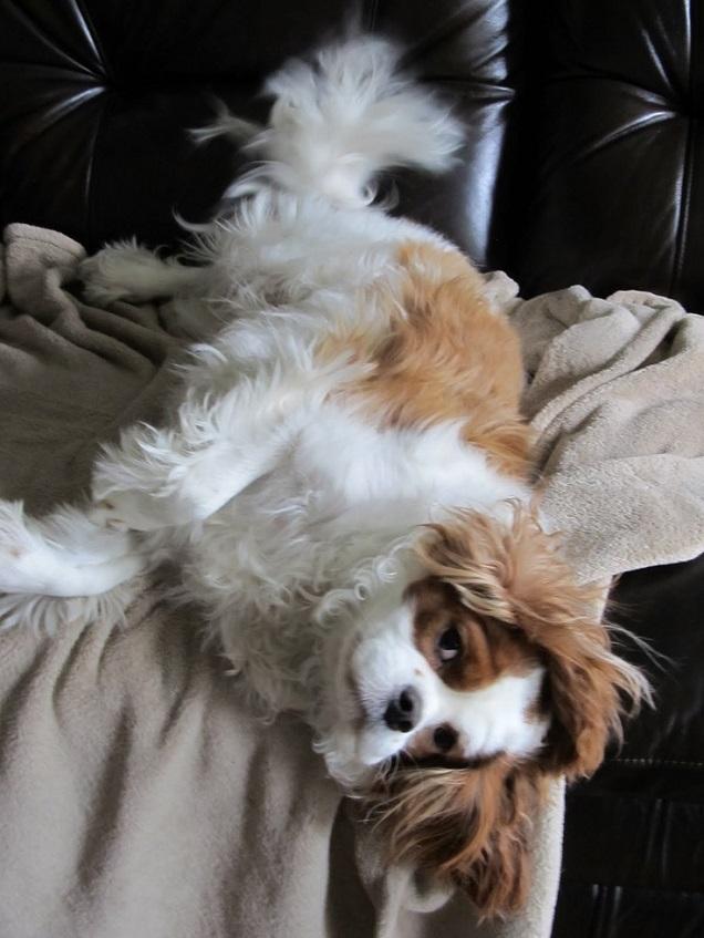 funny rest charles spaniel sofa