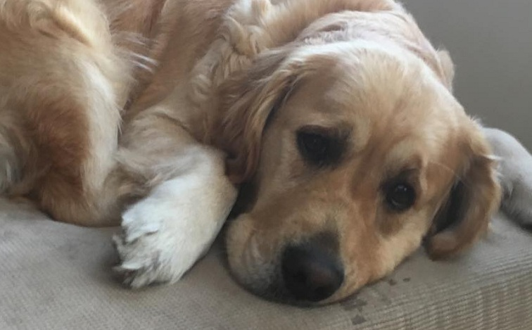 15 Reasons Golden Retrievers Are The Worst Indoor Dog Breeds Of All Time