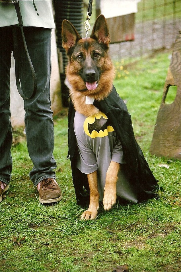german shepherd spider costume 19 costumes that prove german shepherds always win at 9510