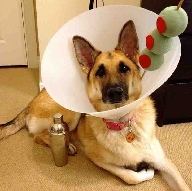 german shepherd spider costume 19 costumes that prove german shepherds always win at 5513