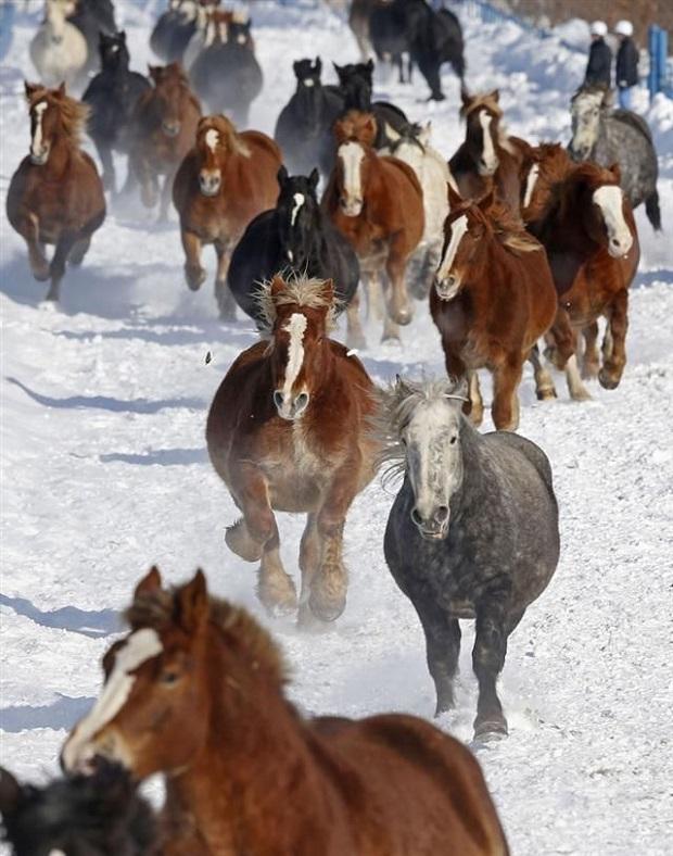 herd horses running