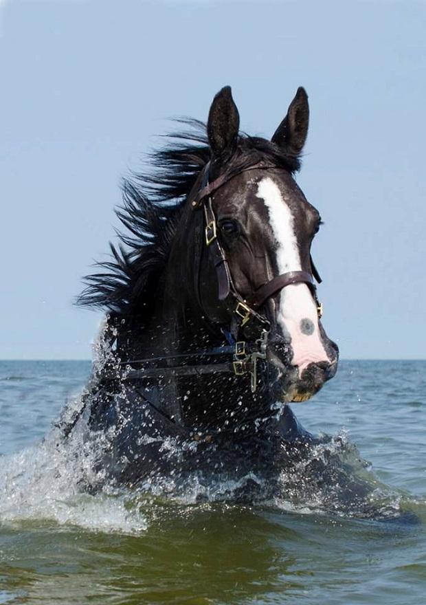 horse swim water