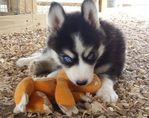 16 Reasons Huskies Are The Worst Indoor Dog Breeds Of All Time