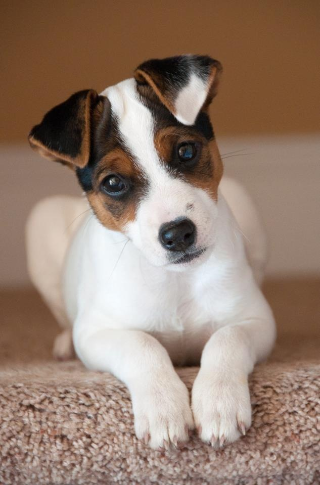 12 Reasons Why You Should Never Own Jack Russells