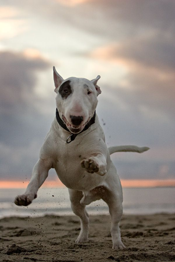 jumping bull terrier beach