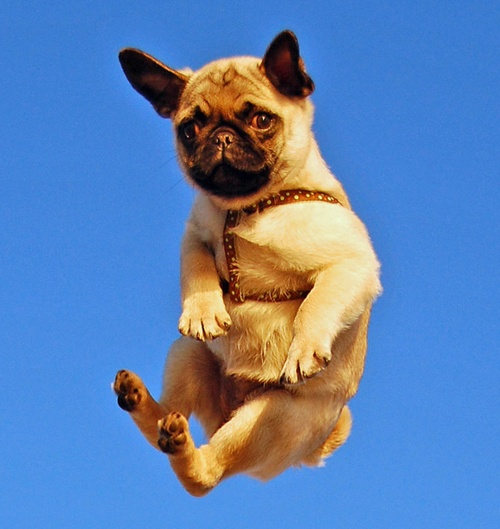 jumping pug sky