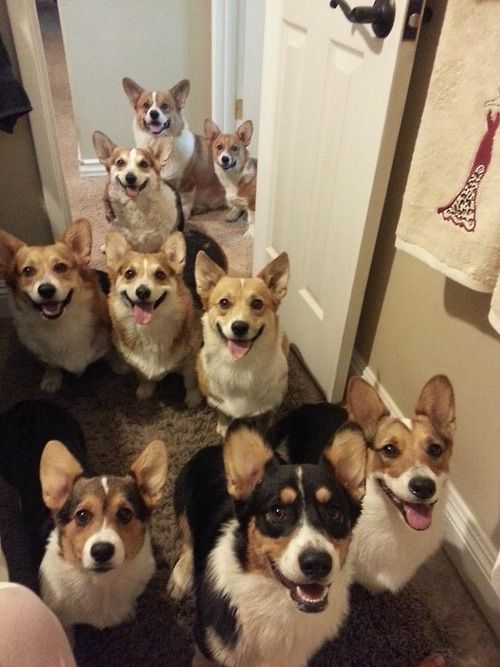 many corgis begging