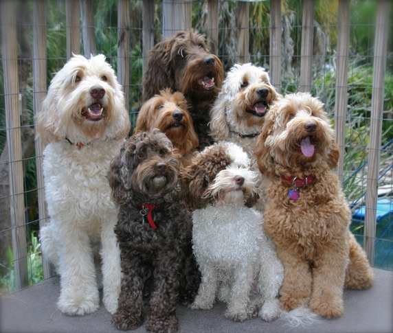 many goldendoodles dogs