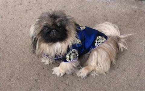 pekingese blue costume