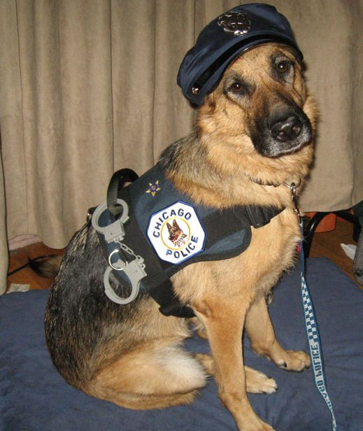 german shepherd spider costume 19 costumes that prove german shepherds always win at 7589