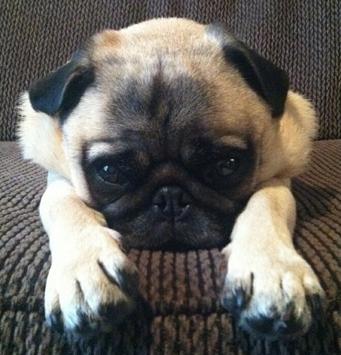 Top Pug Canine Adorable Dog - pug-cute-dog  Picture_757325  .jpg