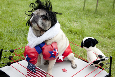 pug halloween costume boxing