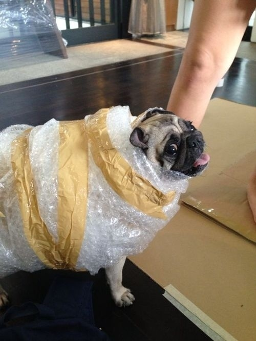 pug halloween costume bubble-wrapped