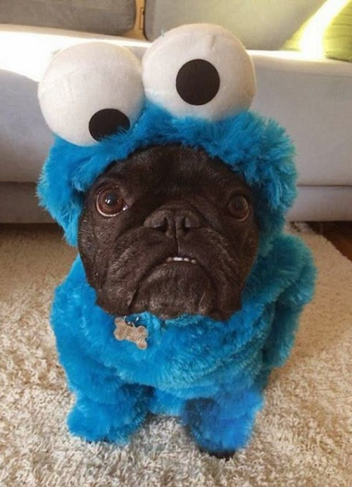 pug halloween costume cookie monster