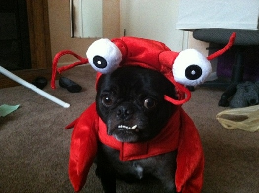 pug halloween costume lobster