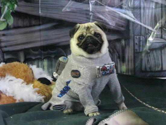 pug halloween costume moon