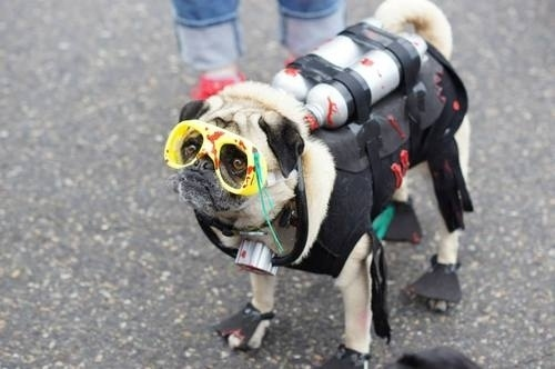 pug halloween costume photo